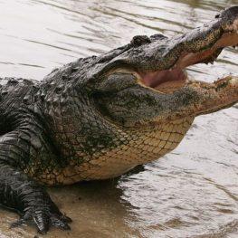Gator says Hi